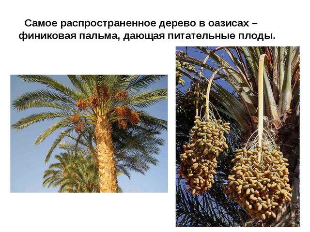 Самое распространенное дерево в оазисах – финиковая пальма, дающая питательн...