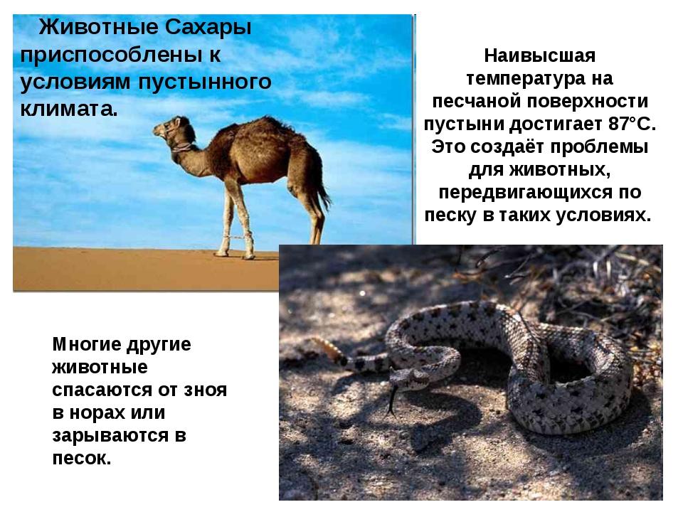 Животные Сахары приспособлены к условиям пустынного климата. Наивысшая темпе...