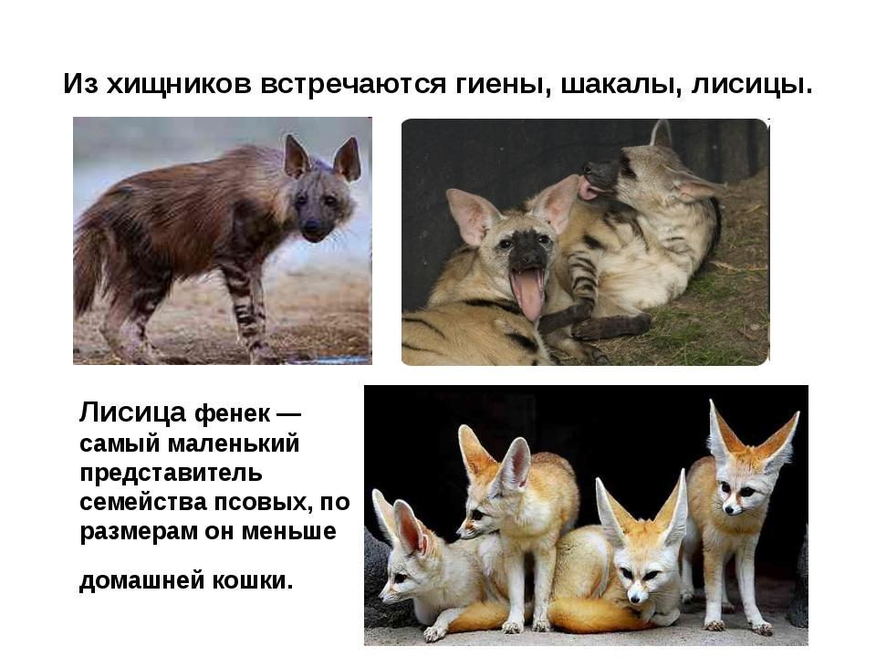Из хищников встречаются гиены, шакалы, лисицы. Лисица фенек — самый маленький...