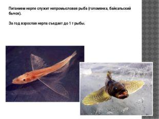 Питанием нерпе служит непромысловая рыба (голомянка, байкальский бычок). За г