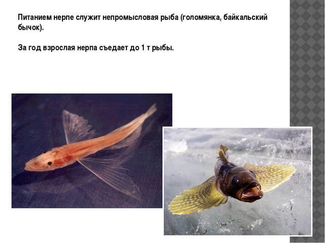 Питанием нерпе служит непромысловая рыба (голомянка, байкальский бычок). За г...