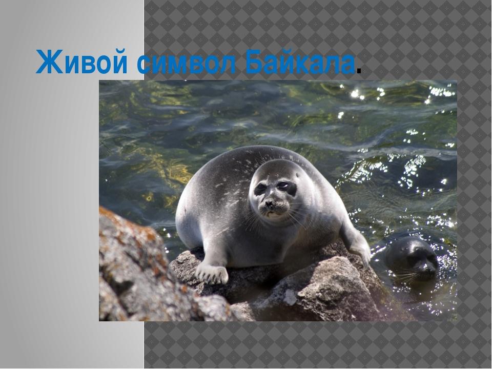 Живой символ Байкала.