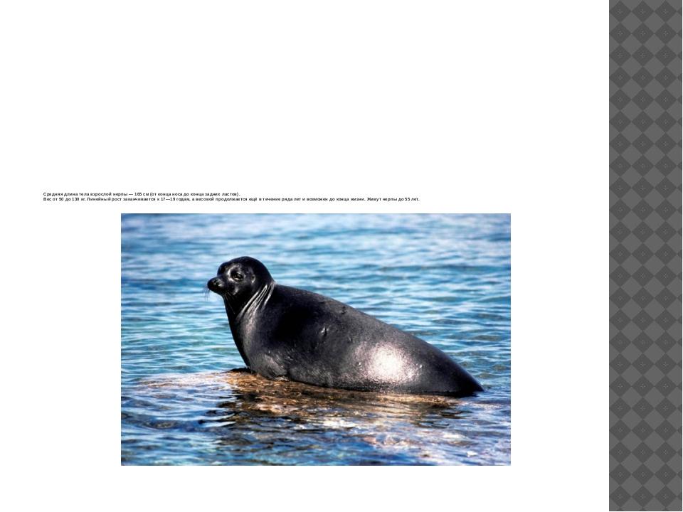 Средняя длина тела взрослой нерпы— 165 см (от конца носа до конца задних ла...