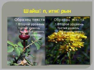 Шайшөп, итмұрын