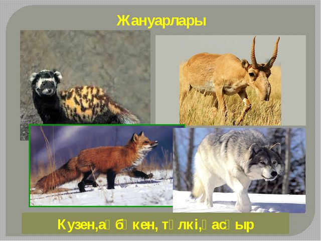 Жануарлары Кузен,ақбөкен, түлкі,қасқыр