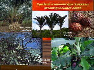 Средний и нижний ярус влажных экваториальных лесов Масличная пальма Пальма Ра