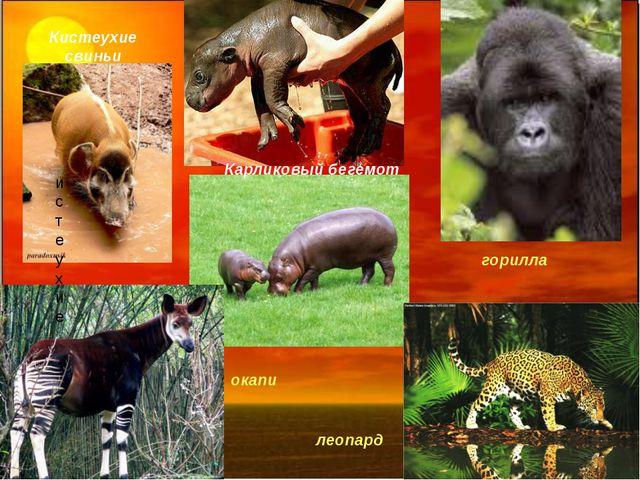 истеухие Кистеухие свиньи Карликовый бегемот окапи леопард горилла