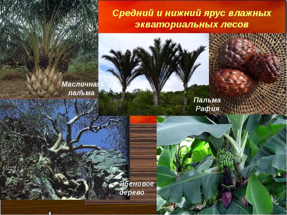 Средний и нижний ярус влажных экваториальных лесов Масличная пальма Пальма Ра...