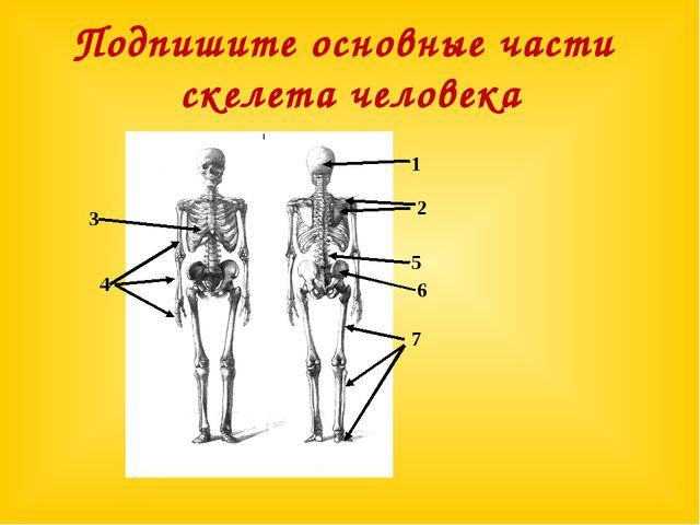 Подпишите основные части скелета человека 1 4 3 5 2 6 7