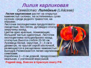 Лилия карликовая Семейство:Лилейные(Liliáceae) Лилия карликоваярастет на о