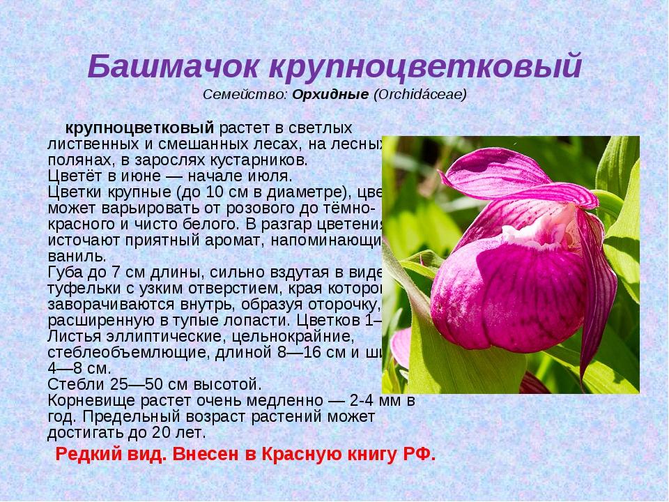 Башмачок крупноцветковый Семейство:Орхидные(Orchidáceae) крупноцветковыйр...