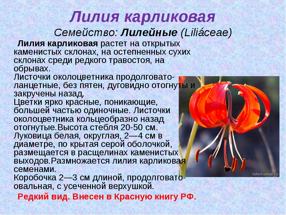 Лилия карликовая Семейство:Лилейные(Liliáceae) Лилия карликоваярастет на о...