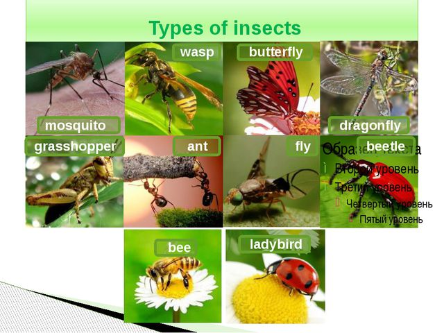 Types of insects mosquito wasp butterfly dragonfly grasshopper fly ant beetl...