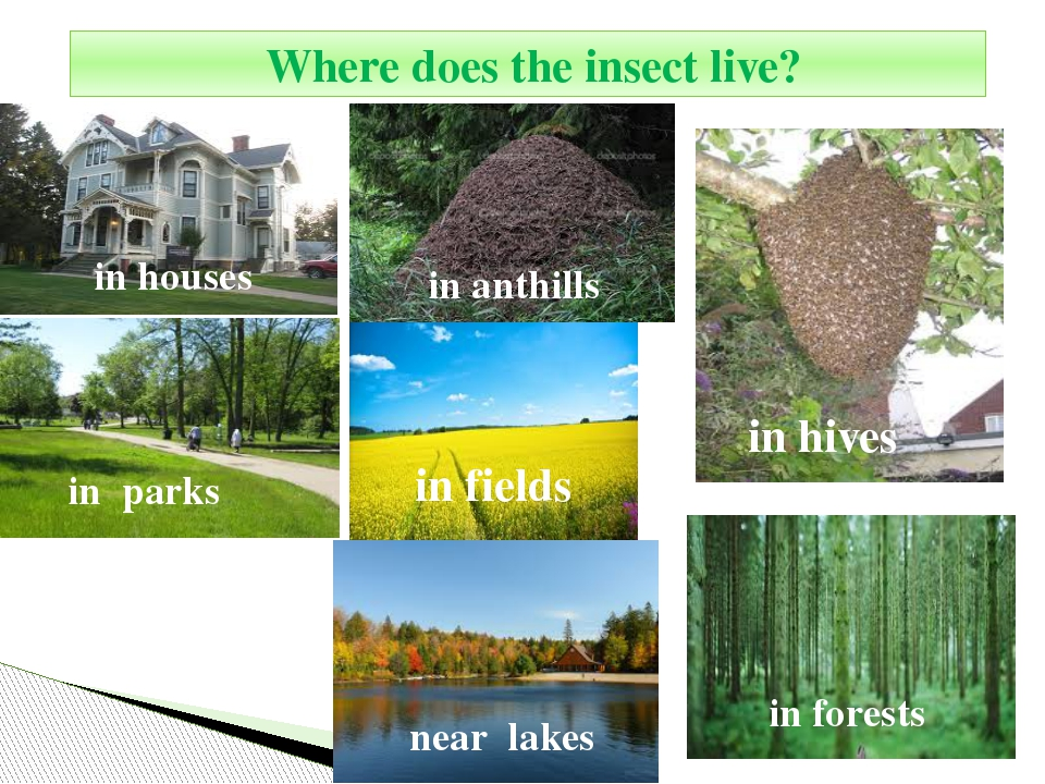 Where does the insect live? in houses in anthills in hives in parks in field...