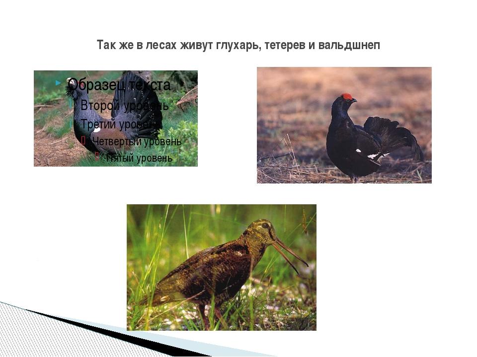 Так же в лесах живут глухарь, тетерев и вальдшнеп