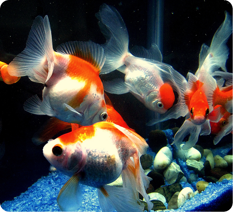 http://zoopodolsk.ru/images/stories/fish/zolotye-rybki-2.jpg