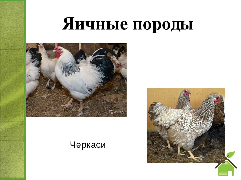 Яичные породы Черкаси