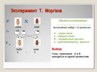 Эксперимент Т. Моргана Объект исследования: плодовая мушка дрозофила диплоидн