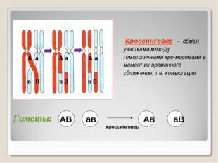 Кроссинговер – обмен участками меж-ду гомологичными хро-мосомами в момент их
