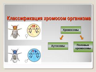 Классификация хромосом организма Хромосомы Аутосомы Половые хромосомы