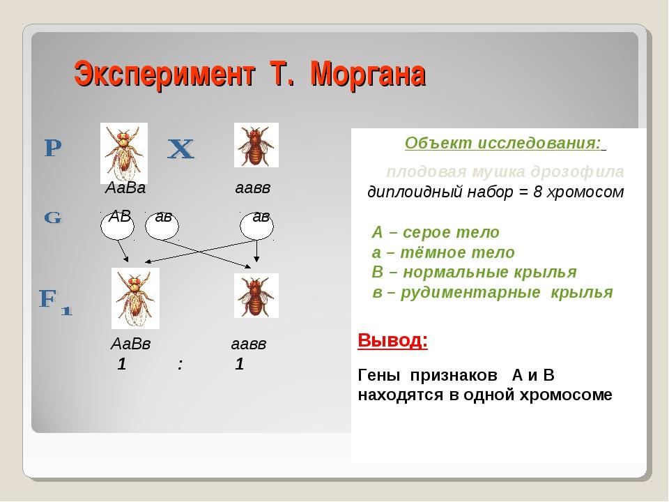 Эксперимент Т. Моргана Объект исследования: плодовая мушка дрозофила диплоидн...