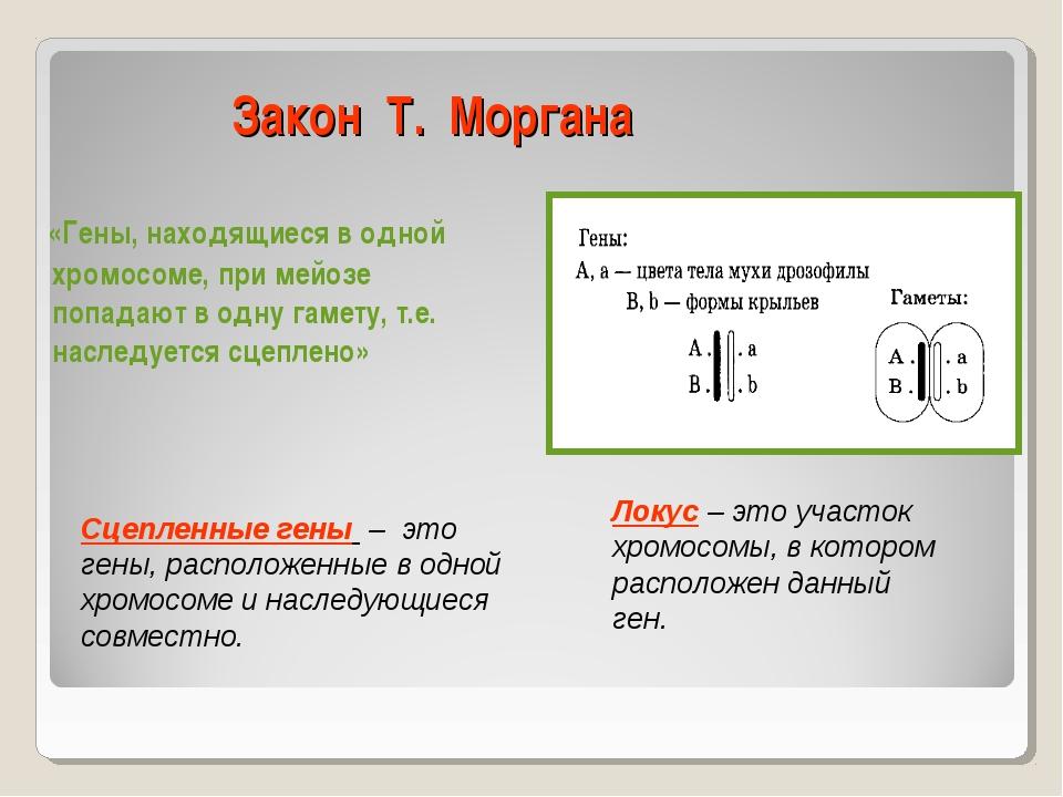 Закон Т. Моргана «Гены, находящиеся в одной хромосоме, при мейозе попадают в...