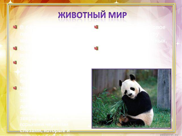 В бамбуковых лесах проживает бамбуковый медведь – панда. В Китае панда – симв...