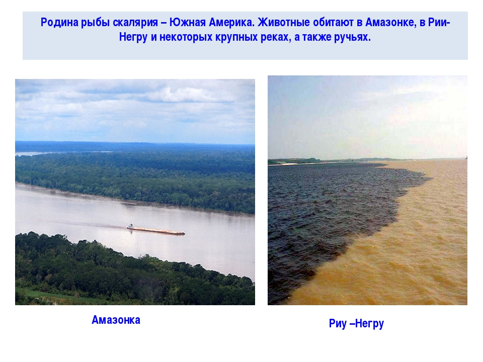 Родина рыбы скалярия – Южная Америка. Животные обитают в Амазонке, в Рии-Негр...