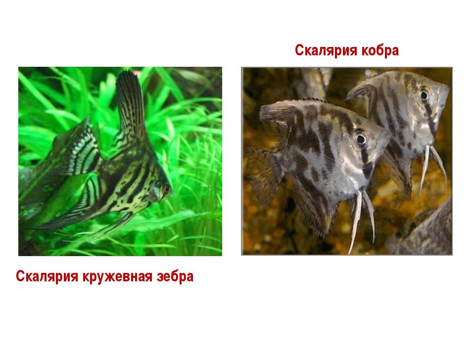 Скалярия кружевная зебра Скалярия кобра