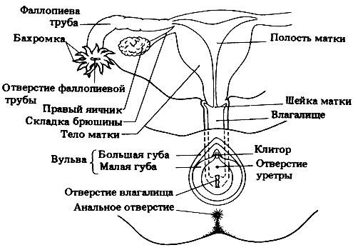 anatomiya-v-kartinkah-vlagalishe
