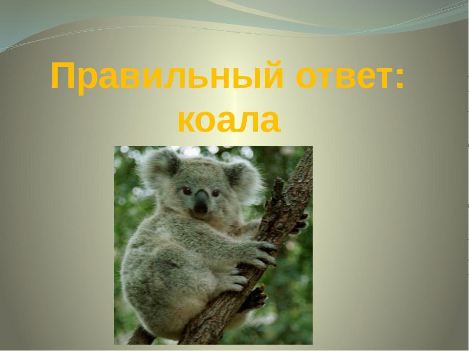 Правильный ответ: коала