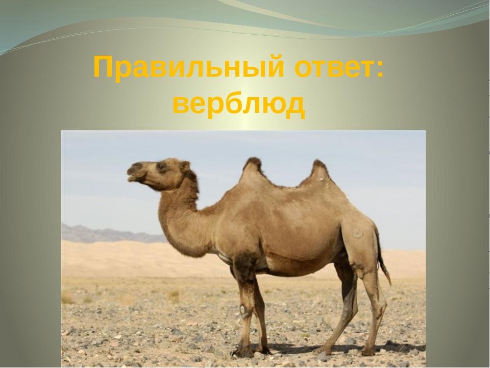 Правильный ответ: верблюд