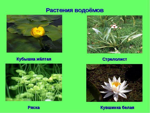 Растения водоёмов Кубышка жёлтая Стрелолист Ряска Кувшинка белая