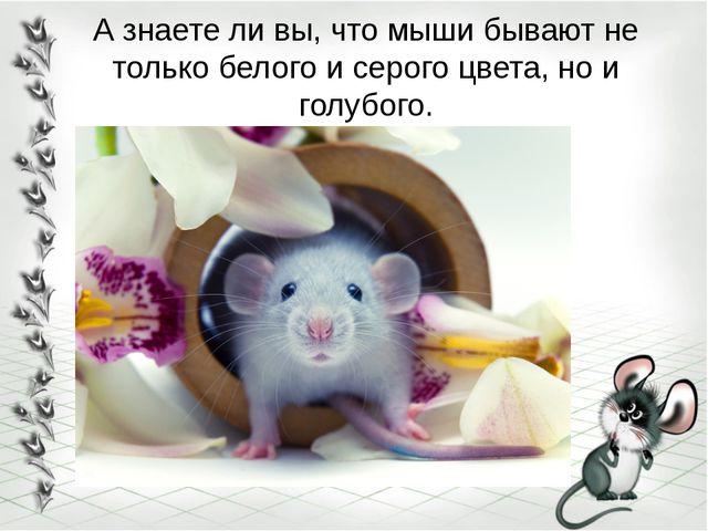 А знаете ли вы, что мыши бывают не только белого и серого цвета, но и голубого.