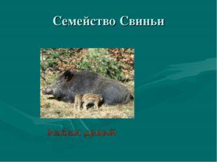 Семейство Свиньи