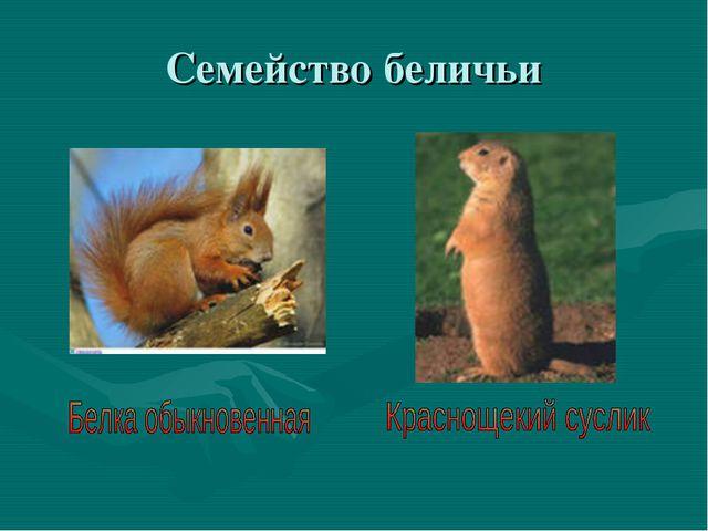 Семейство беличьи