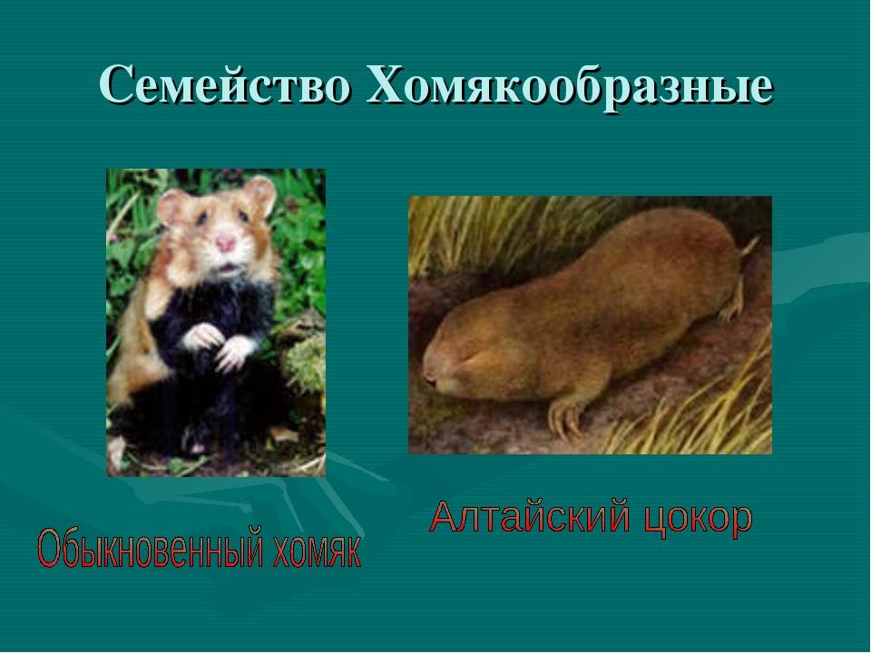 Семейство Хомякообразные