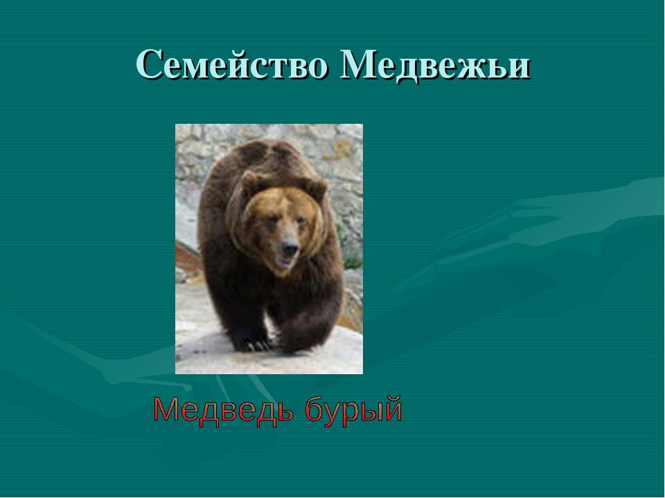 Семейство Медвежьи