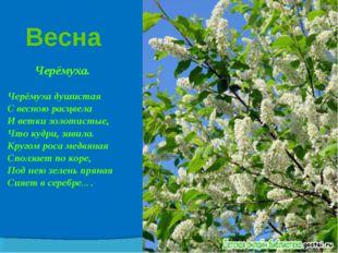 Весна Черёмуха. Черёмуха душистая С весною расцвела И ветки золотистые, Что к