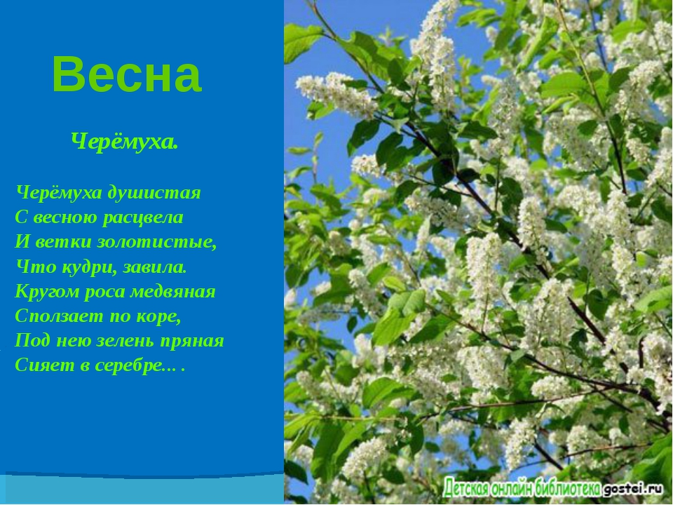 Весна Черёмуха. Черёмуха душистая С весною расцвела И ветки золотистые, Что к...