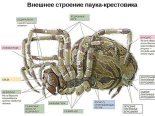 Внешнее строение паука-крестовика
