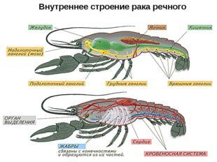 Внутреннее строение рака речного