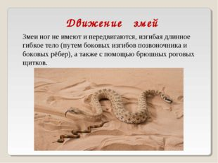 Движение змей Змеи ног не имеют и передвигаются, изгибая длинное гибкое тело