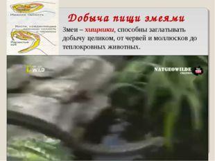 Добыча пищи змеями Змеи – хищники, способны заглатывать добычу целиком, от че