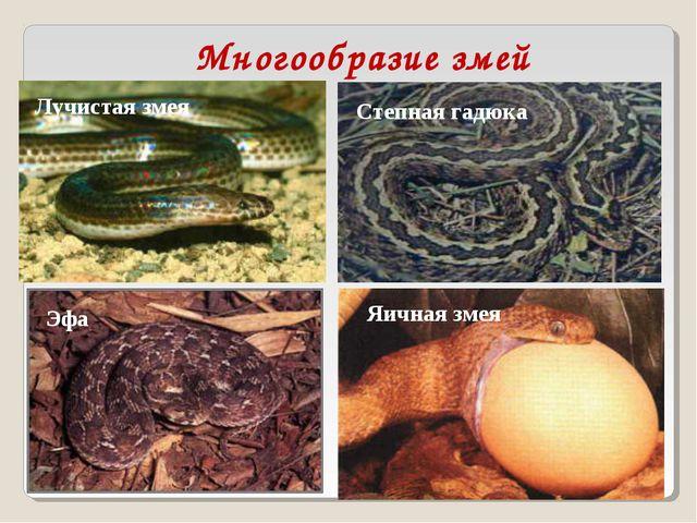 Многообразие змей Лучистая змея Степная гадюка Эфа Яичная змея