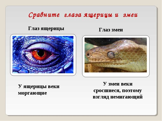 Сравните глаза ящерицы и змеи Глаз ящерицы Глаз змеи У ящерицы веки моргающие...