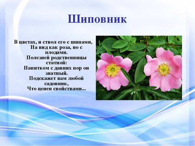 Шиповник В цветах, и ствол его с шипами, На вид как роза, но с плодами. Полез...