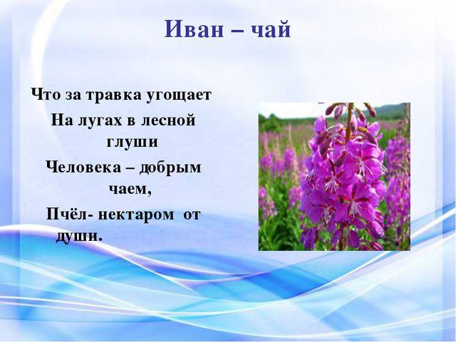 Иван – чай Что за травка угощает На лугах в лесной глуши Человека – добрым ча...