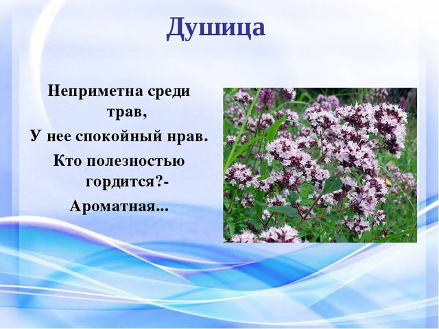 Душица Неприметна среди трав, У нее спокойный нрав. Кто полезностью гордится...