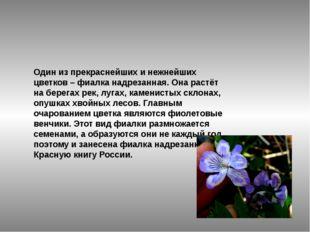 Один из прекраснейших и нежнейших цветков –фиалка надрезанная. Она растёт на